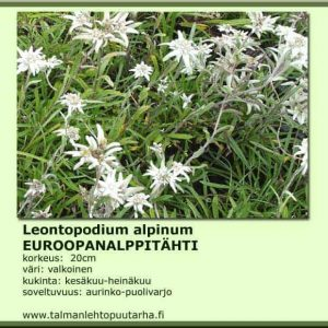 Leontopodium alpinum Euroopanalppitähti