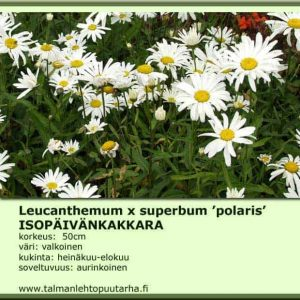 Leucanthemum x sup. 'Polaris' Isopäivänkakkara