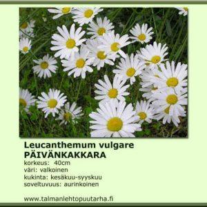 Leucanthemum vulgare Päivänkakkara