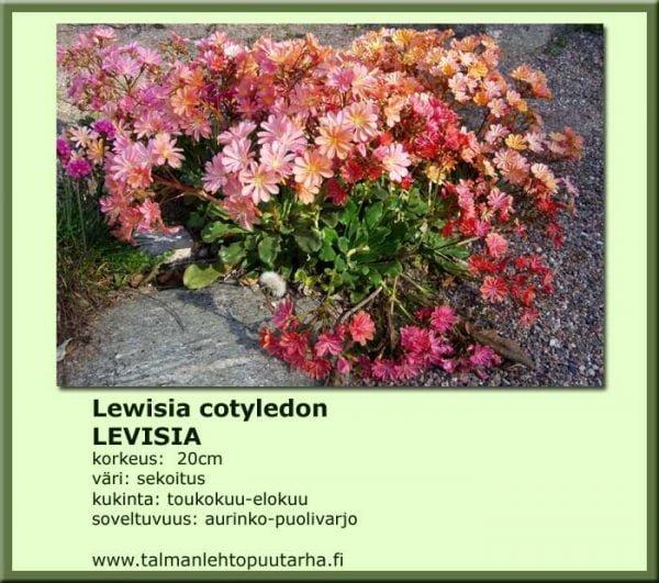 Lewisia cotyledon-Hybr. 'Mischung' Levisia