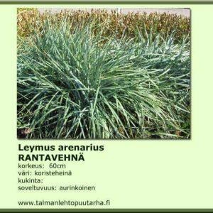 Leymus arenarius Rantavehnä