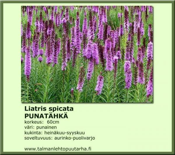 Liatris spicata 'Kobolt' Punatähkä