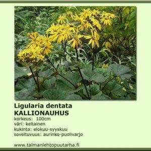 Ligularia dentata 'Desdemona' Kallionauhus