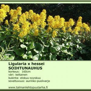 Ligularia x hessei Soihtunauhus
