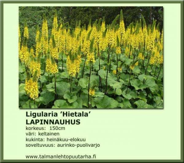 Ligularia 'Hietala' Lapinnauhus