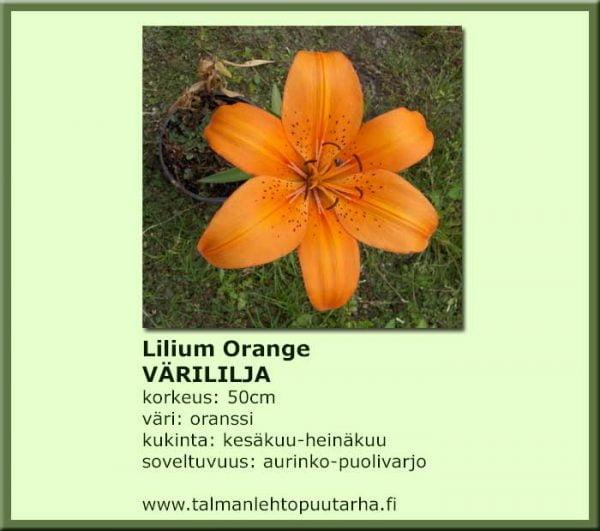 Lilium Orange Värililja