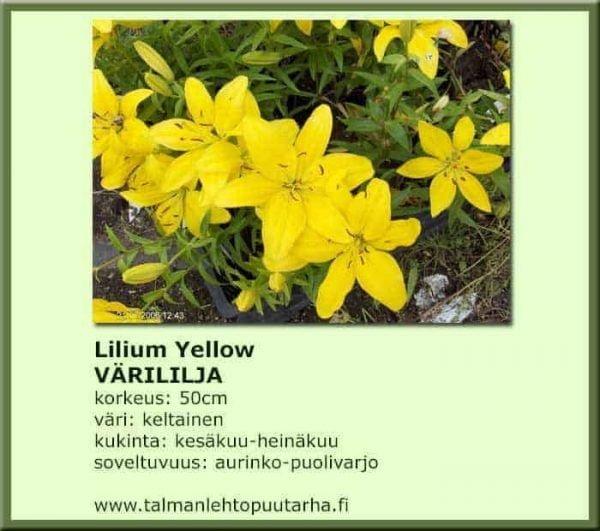 Lilium Yellow Värililja