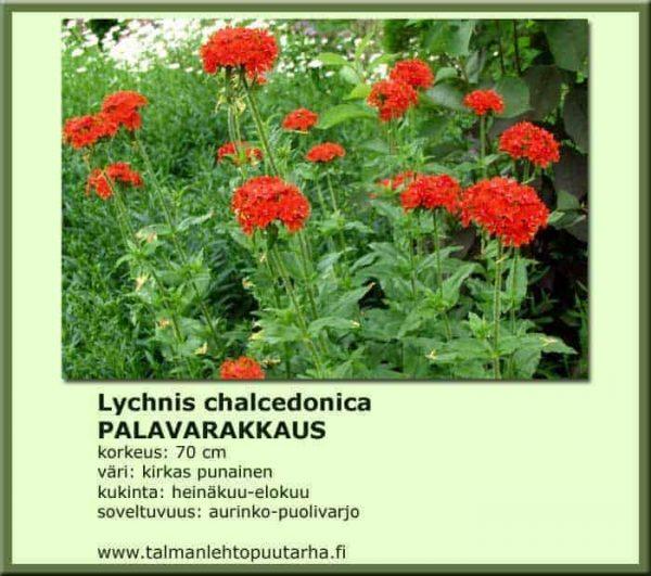 Lychnis chalcedonica Palavarakkaus