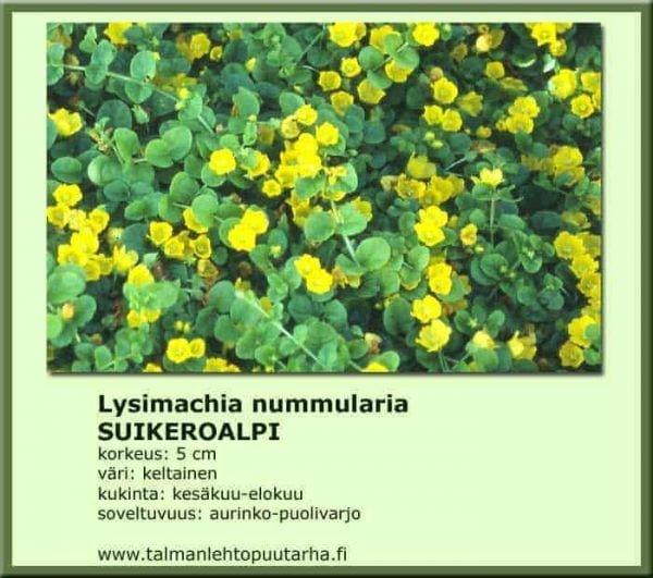Lysimachia nummularia Suikeroalpi