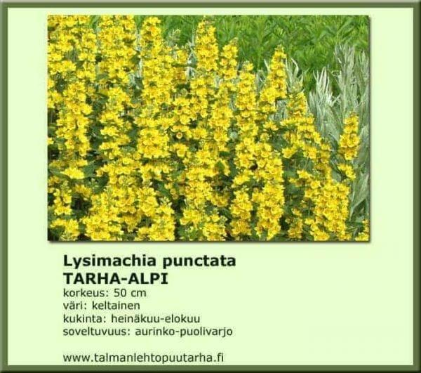 Lysimachia punctata Tarha-alpi