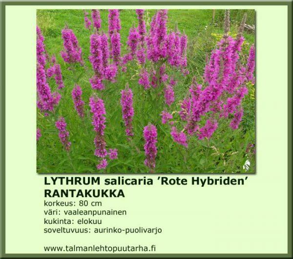 Lythrum salicaria 'Rote Hybriden' Rantakukka