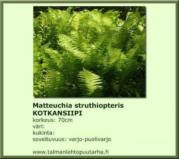 Matteuccia struthiopteris Kotkansiipi