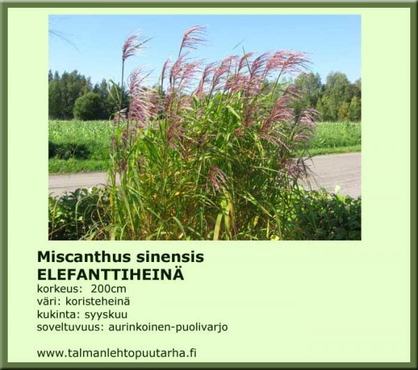 Miscanthus sinensis Elefanttiheinä