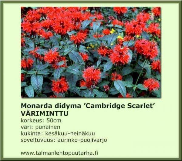 Monarda didyma 'Cambridge Scarlet' Väriminttu