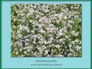 Myosotis scorpioides Luhtalemmikki