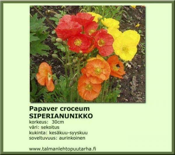 Papaver croceum Siperianunikko