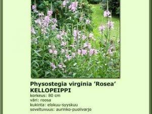 Physostegia virginiana 'Rosea' Kellopeippi