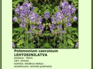 Polemonium caeruleum Lehtosinilatva