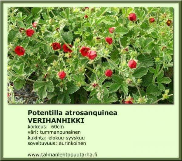 Potentilla atrosanguinea Verihanhikki