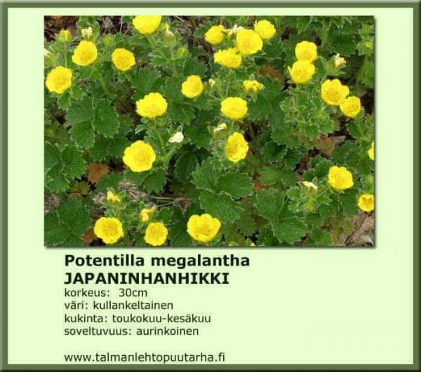 Potentilla megalantha Japaninhanhikki