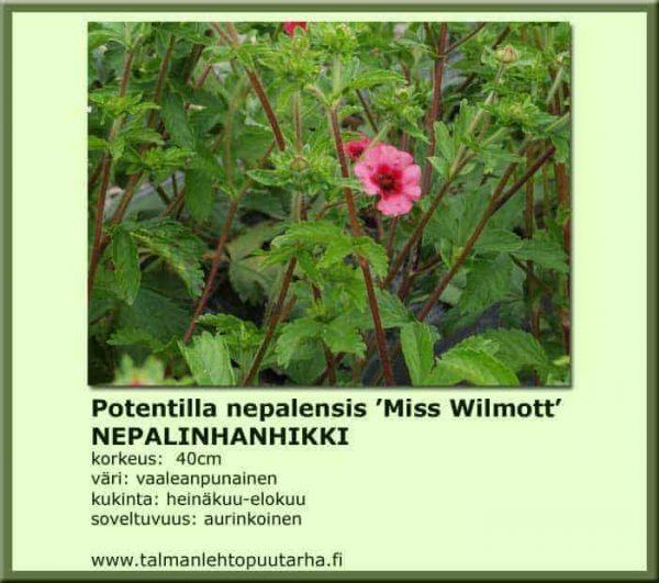Potentilla nepalensis 'Miss Wilmott' Nepalinhanhikki