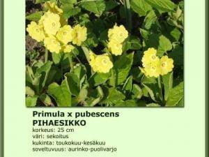 Primula x pubescens Pihaesikko