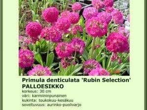 Primula denticulata 'Rubin Selection' Palloesikko
