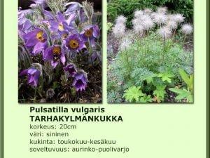 Pulsatilla vulgaris Tarhakylmänkukka