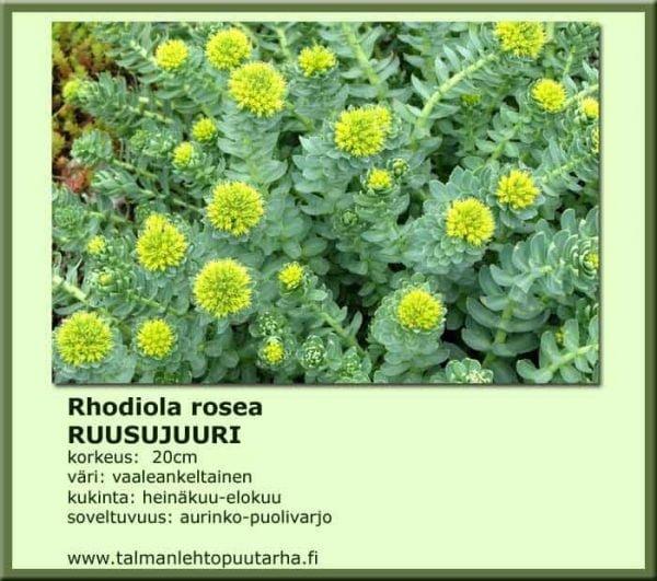 Rhodiola Rosea Ruusujuuri