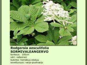 Rodgersia aesculifolia Sormivaleangervo