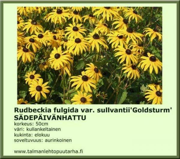 Rudbeckia fulg. var sullvantii 'Gold.' Sädepäivänhattu