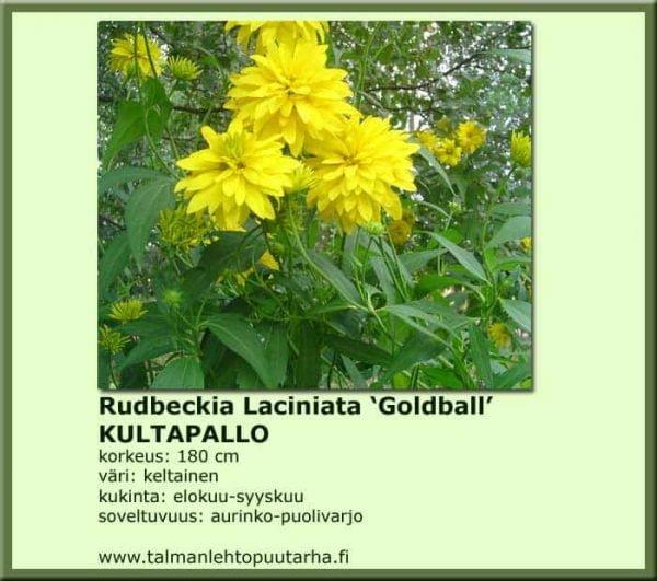 Rudbeckia laciniata 'Goldball' Kultapallo