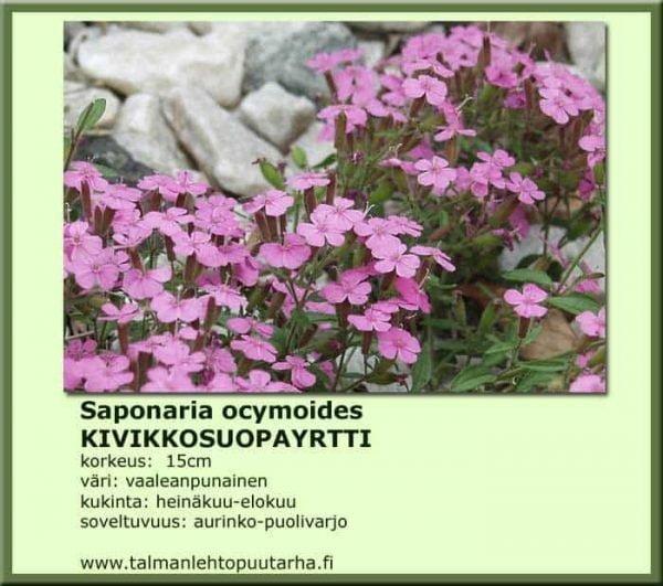 Saponaria ocymoides Kivikkosuopayrtti