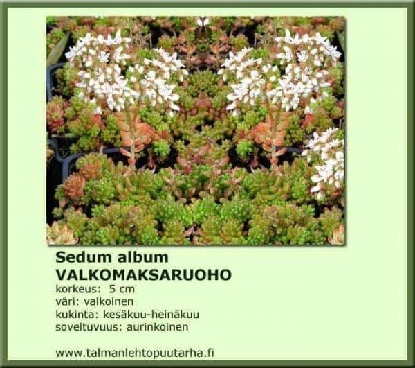 Sedum album Valkomaksaruoho