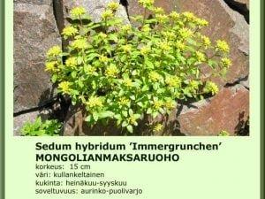 Sedum hybridum 'Immergrunchen' Mongolianmaksaruoho