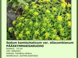 Sedum kamts. var. ellacombianum Pääskynmaksaruoho