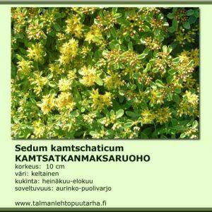 Sedum kamtschaticum Kamtsatkanmaksaruoho