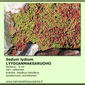 Sedum lydium Lyydianmaksaruoho