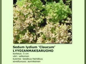 Sedum lydium 'Claucum' Lyydianmaksaruoho