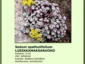 Sedum spathulifolium Lusikkamaksaruoho