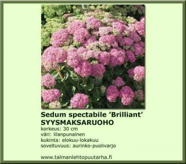 Sedum spectabile 'Brilliant' Syysmaksaruoho