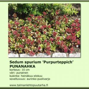 Sedum spurium 'Purpurteppich' Punanahka