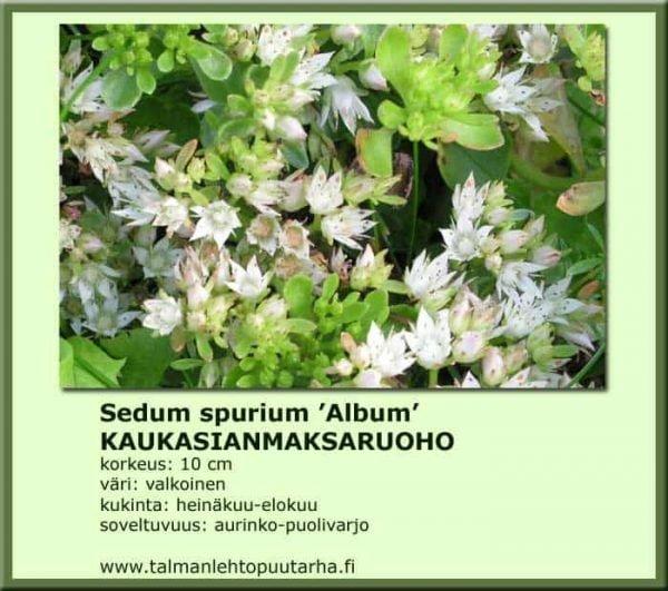 Sedum spurium 'Schorbussen Blut' Kaukasianmaksaruoho