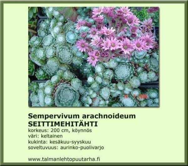 Sempervivum arachnoideum Seittimehitähti