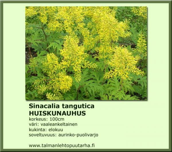 Sinacalia tangutica Huiskunauhus