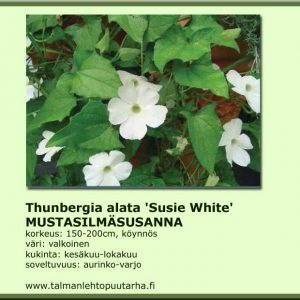 Thumbergia alata 'Sunny Susy White Halo' Mustasilmäsusanna
