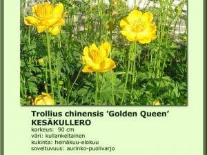 Trollius chinensis 'Golden Queen' Kesäkullero