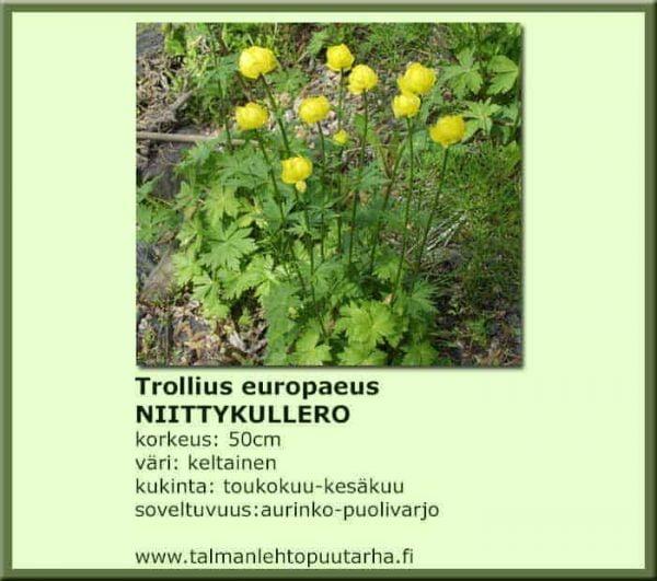 Trollius europaeus Niittykullero