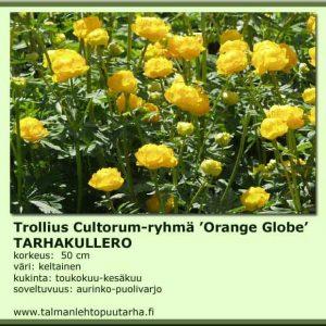 Trollius hybr. 'Orange Globe' Tarhakullero