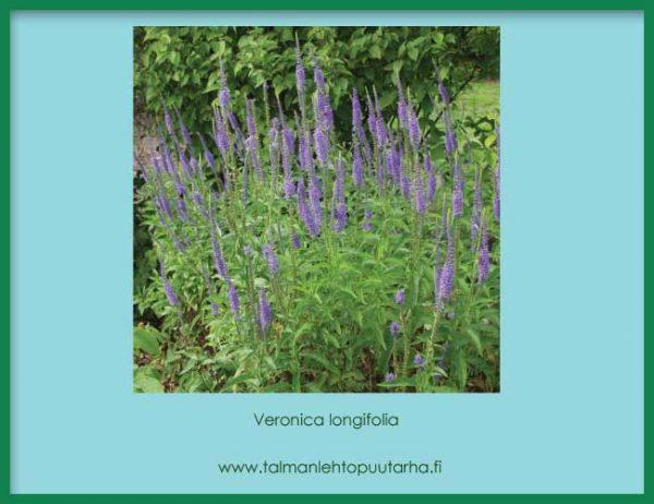 Veronica longifolia Rantatädyke